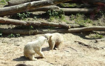 Und hier kommen die weißen puschligen Eisbären-Babys!