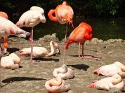 Flamingo Knie sind verkehrtrum